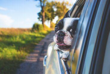 dog inside a car